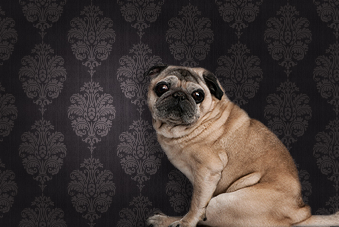 Pug sitting down in front of wallpaper