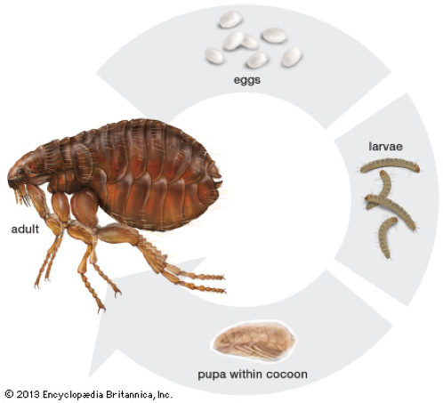 what to know about fleas
