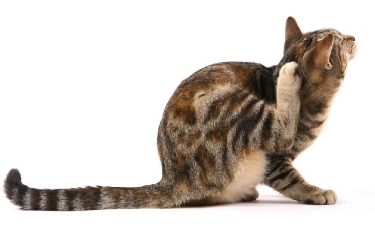 Cat scratching its leg