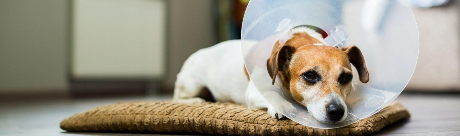 dog-spay