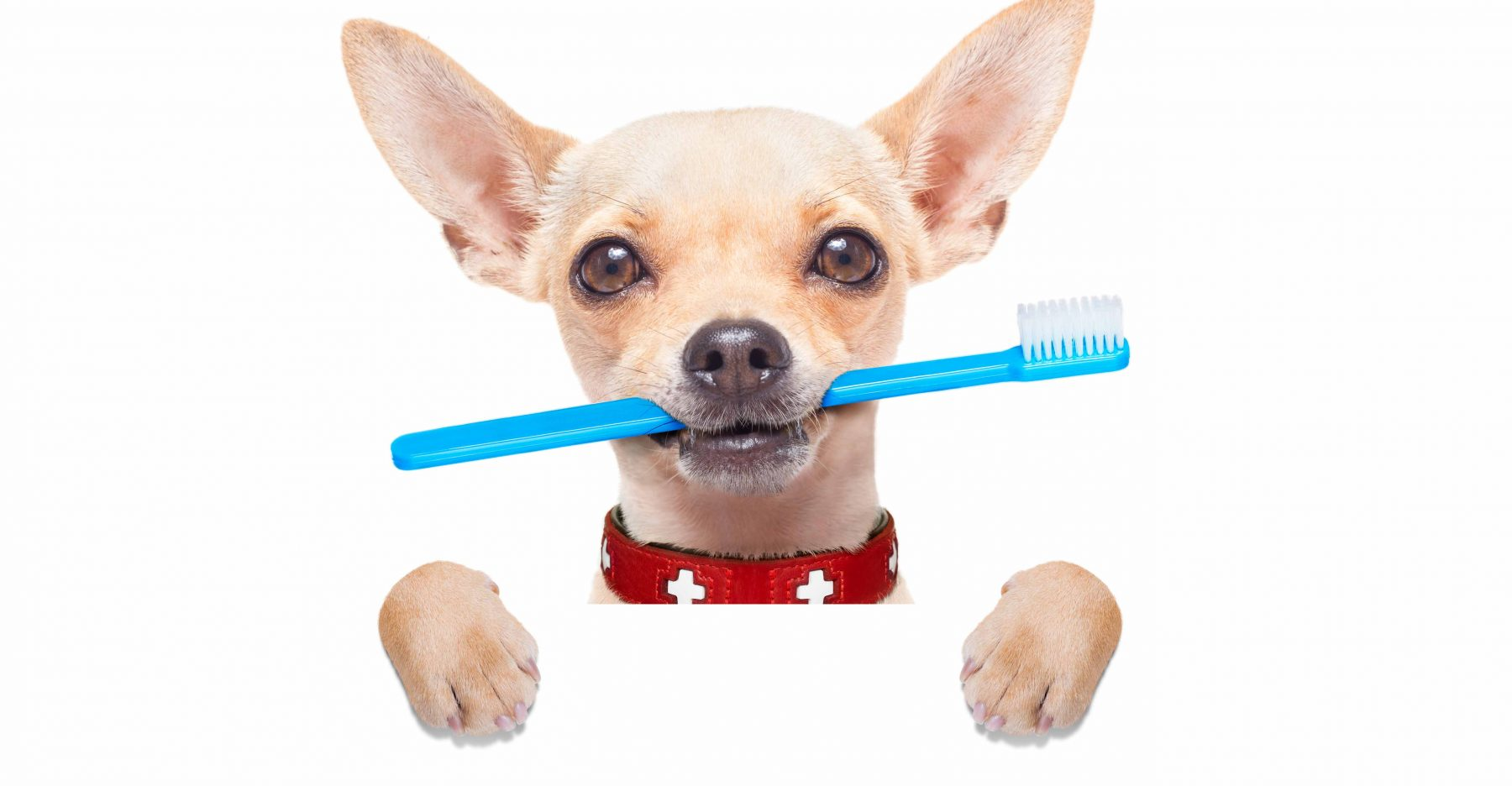 Dog holding a toothbrush in its mouth