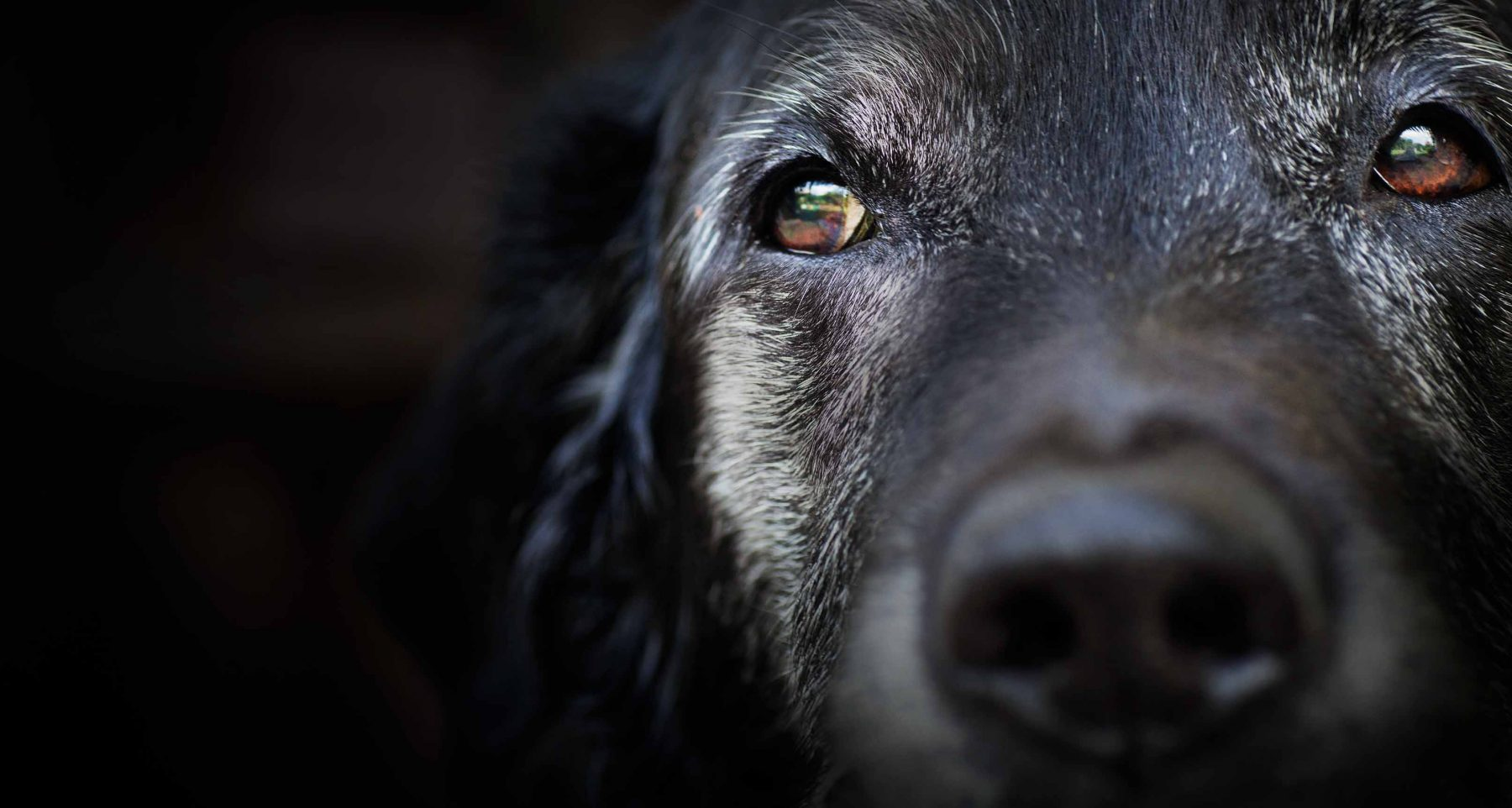 Senior black dog