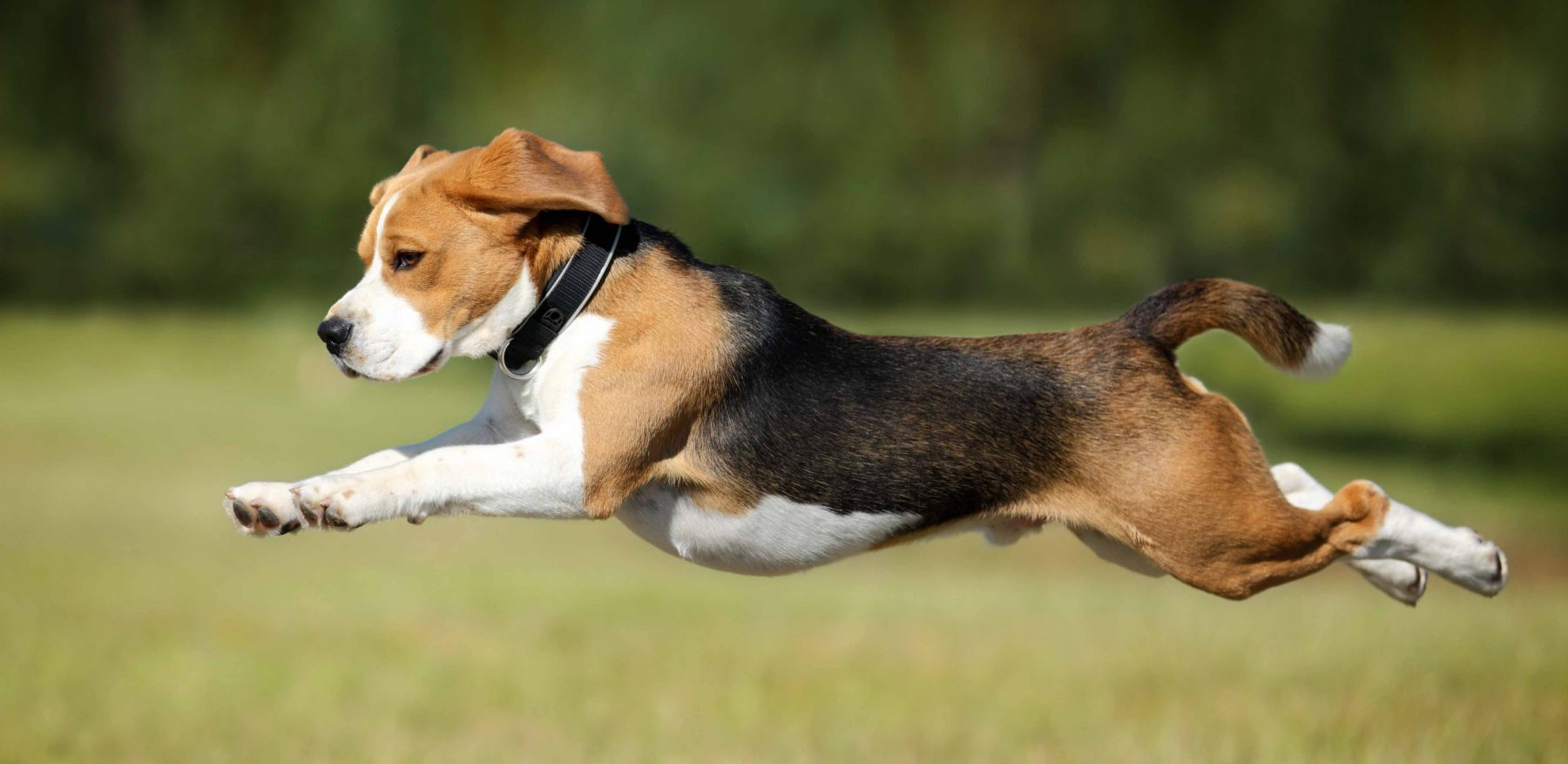 a healthy leaping dog