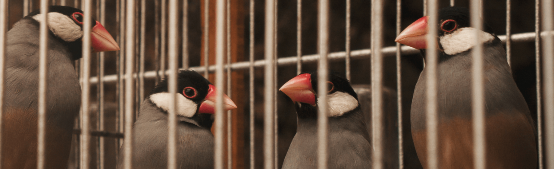 Four birds in a cage