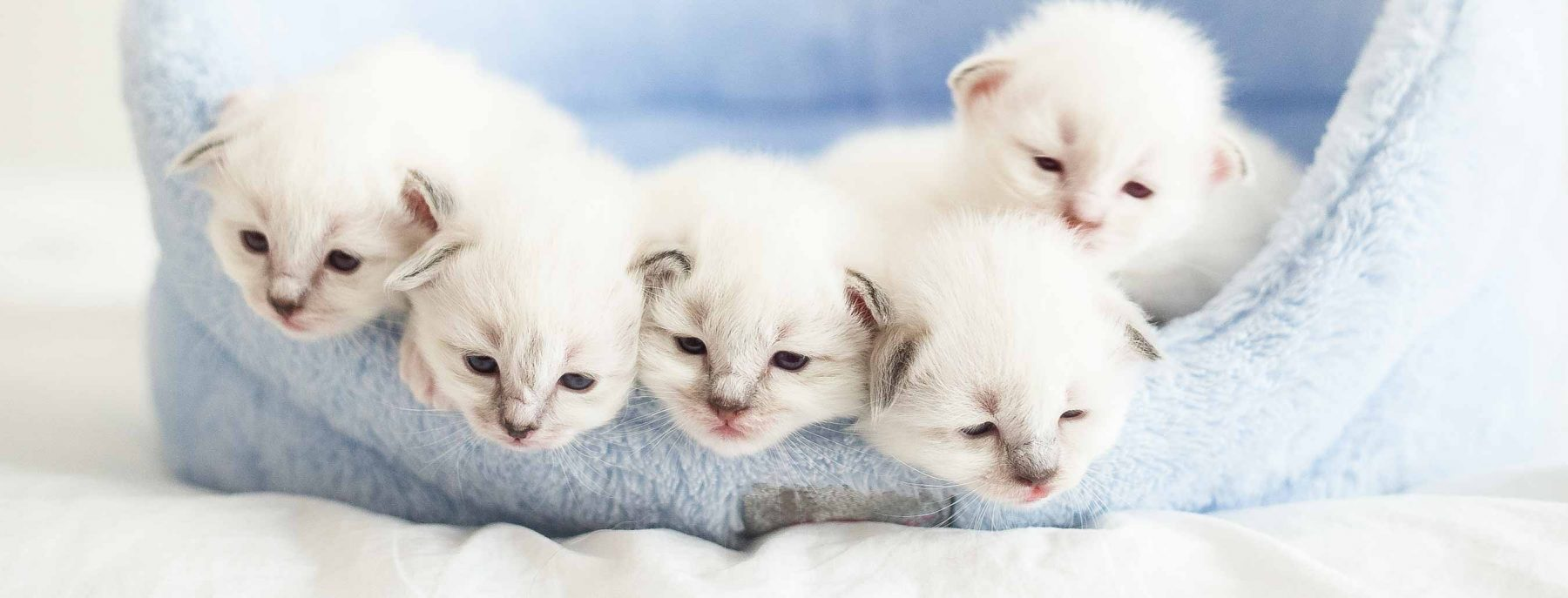White kittens in a cat bed