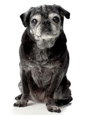 senior-doggie