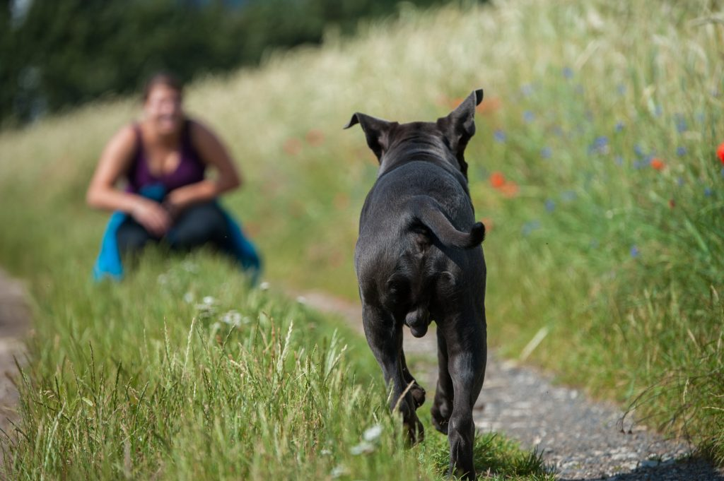 Back view of a black dog running to a woman