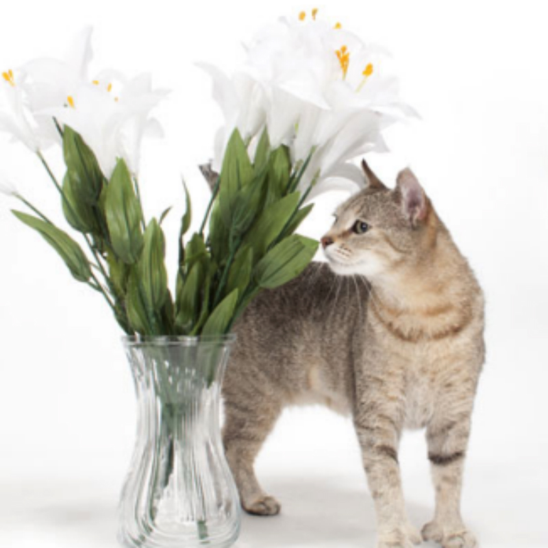 Lily Poisoning in Cats petMD Logo