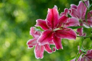 A stargazer lily, very dangerous to cats