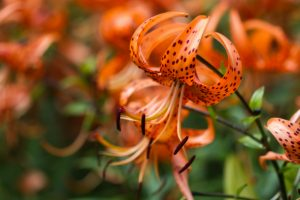 Tiger Lily and ts Dangers to Cats
