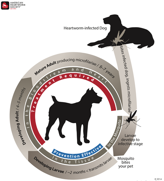 Diagram of heartworm life cycle in a dog