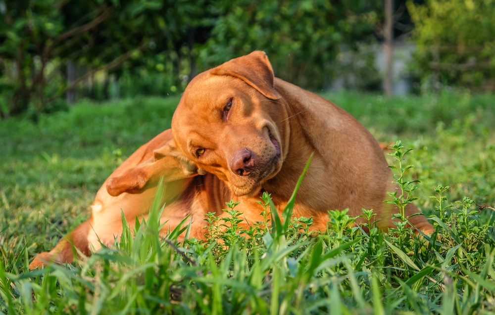 Dog lying on grass and scratching its leg