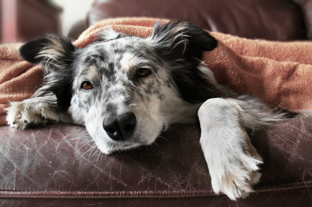 Sad dog lying under a blanket on a couch